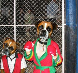 Boxer Hund Stupidedia