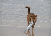 800px-The Dingo Finds a Dead Fish.jpg