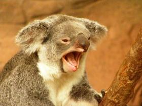 Koala Drinking Beer